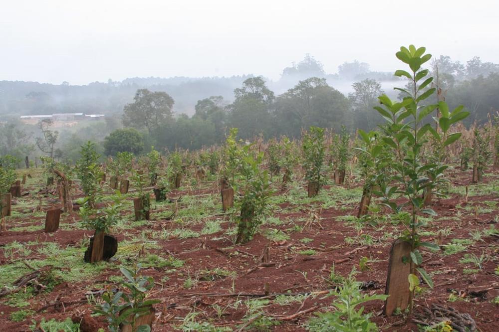 Cada productor podrá incorporar cinco hectáreas nuevas de yerba por año