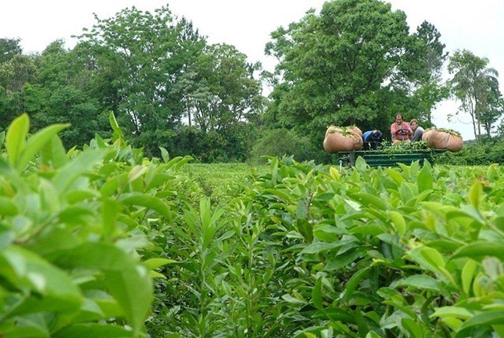 La sequía provocó la merma en la producción del té misionero
